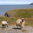 Sheep in Iceland — Stock Photo