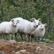 Sheep — Foto de Stock