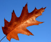 Red oak leaf — Stock Photo