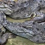 Siamese crocodile — Stock Photo