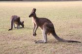 Kangaroos — Stock Photo
