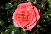 Tearose hybrid cultivar — Stock Photo