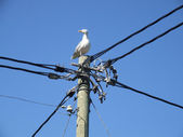 Albatross sitting on electric post — Stock Photo