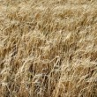 Fields of barley - background — Stock Photo