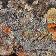 Lichen in Iceland — Stock Photo