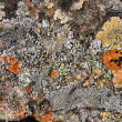 Lichen in Iceland — Stock Photo #4540654