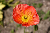 Iceland poppy flower — Stock Photo