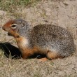 Columbian Ground Squirrel — Stock Photo #4600105