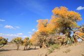 Golden yellow Fall Populus trees — Stock Photo