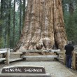 Stock Photo: Giant Sequoia