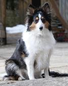 Cão pastor closeup — Foto Stock