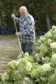 Senior hombre rastrillar la hierba — Foto de Stock