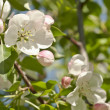 Apple blossom flowers — Foto de Stock