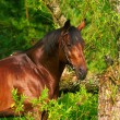 Stock Photo: Portrait of bay horse near tree