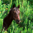 Portrait of bay horse in pinetree — Stock Photo
