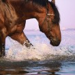 Splashing bay horse — Stock Photo