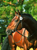 Very beautiful trakehner stallion — Stock Photo