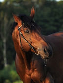 Evening portrait of the bay horse — Stock Photo