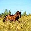 Running bay horse on yellow meadow — Stok fotoğraf