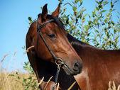 Portrait of bay horse in field — Stock Photo