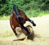 Running bay horse on sand — Stock Photo