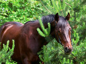 Bay horse in pinetree — Stock Photo
