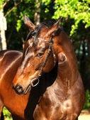 Portrait of bay horse — 图库照片