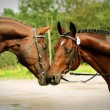 Stock Photo: Couple of breed trakehner stallion
