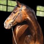 Bay horse on black background — Stock Photo #4562765
