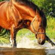 Splashing bay horse in the gulf — Stock Photo #4562770