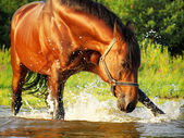 Splashing bay horse in the gulf — Stock Photo