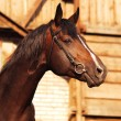 Stock Photo: Bay horse on background of stable