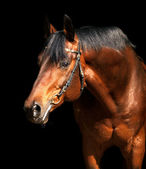 Portrait of bay horse isolated on black background — Stock Photo