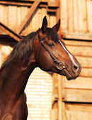 Bay horse on background of stable — Stock Photo