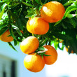 Royalty-Free Stock Photo: Mandarines on the tree
