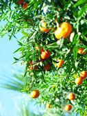 Mandarines sur l'arbre — Photo