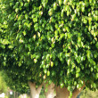 Row of ficus trees - Stock Photo
