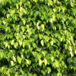 Leaves of ficus textures clouse-up — Stock Photo