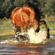Plaeing bay horse in water — Stock Photo