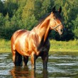 The evening portrait of bay horse — Stock Photo