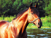 Portrait of the bay horse at gulf — Stock Photo