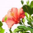 Red hibiscus on white background — Stock Photo