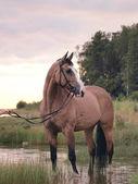 Palomino horse on the evening gulf — Stock Photo