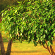 Ficus tree — Stock Photo #5019881