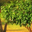 Stock Photo: Ficus tree