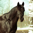 Foto Stock: Winter portrait of black horse