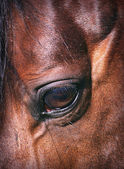 Beatiful eye of the horse close-up — Stock Photo