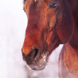 Stock Photo: Winter portrait of bay horse