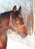 Winter portrait of bay horse — Stock Photo