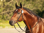 Beautiful trakehner stallion — Stock Photo